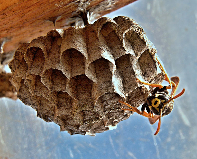 Hvepsebo på loftet