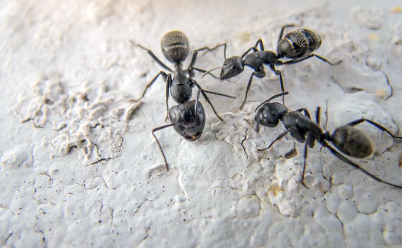 Myre i køkkenet